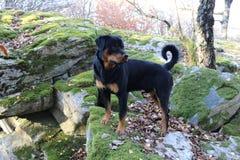 Rottweilerhond die zich op mos overwoekerde rotsen bevinden stock foto's