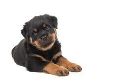 Rottweilerpuppy het liggen Royalty-vrije Stock Foto