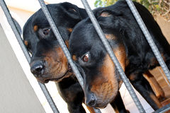 Rottweilers. Two rottweilers behind the bars stock image