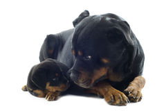 Rottweilers Royalty Free Stock Photography