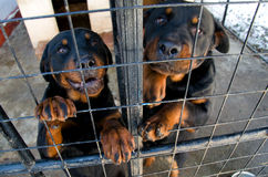 Rottweilers at the animal shelter. Waiting for owner Stock Photos