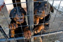 Rottweilers bij de dierlijke schuilplaats stock foto's