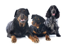 Rottweilers and cocker spanier Royalty Free Stock Photos