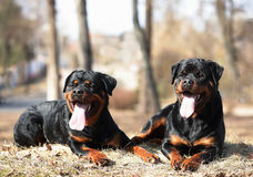 Rottweilers dogs. Rottweilers lie in the spring park in the sun royalty free stock photography