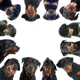 Rottweilers Stock Images