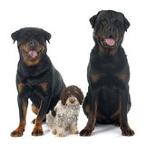 Rottweilers and lagotto romagnolo Royalty Free Stock Photography