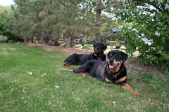 Rottweilers laying on grass. Dogs laying on the grass in a yard Royalty Free Stock Photography