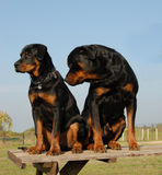 Rottweilers: puppy and adult Royalty Free Stock Image