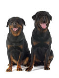 Rottweilers Royalty Free Stock Image