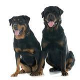 Rottweilers Stock Photos