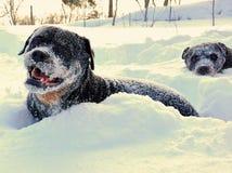 Rottweilers que mergulhos e jogos no sno alto dos medidores foto de stock royalty free