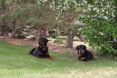 Rottweilers que pone en hierba Fotografía de archivo libre de regalías