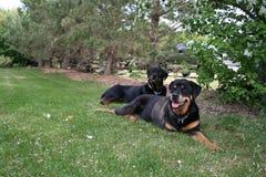 Rottweilers s'étendant sur l'herbe Photographie stock libre de droits