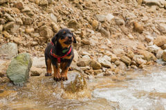 Portrait Of A Purebred Rottweiler Puppy Stock Photos
