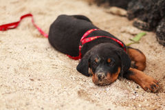 Beautiful Rottweiler Puppy Royalty Free Stock Photo