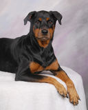 Rotty3. Rottweiler studio portrait laying down royalty free stock photos