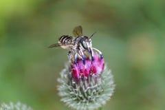 Rotundata caucásico mullido gris del Megachile de la hoja de la abeja del primer en p Foto de archivo libre de regalías