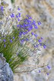 Rotundifolia колокольчика колокольчиков растя на скале Стоковое Изображение RF