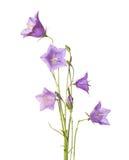 Rotundifolia колокольчика Стоковое фото RF