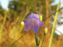 Rotundifolia колокольчика Стоковое Изображение RF