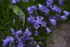 Rotundifolia колокольчика Стоковые Фото