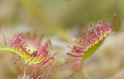 Rotundifolia de Drosera Images libres de droits
