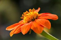 Rotundifolia de Tithonia do girassol mexicano imagem de stock royalty free