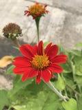 Rotundifolia de Tithonia ou girassol vermelho Foto de Stock Royalty Free