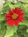 Rotundifolia de Tithonia ou girassol vermelho Imagens de Stock