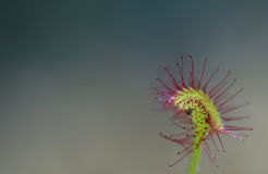 Rotundifolia del Drosera Imagen de archivo