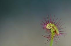 Rotundifolia do Drosera Imagem de Stock