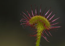 Rotundifolia do Drosera Fotografia de Stock Royalty Free
