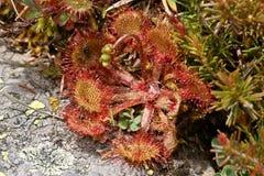 Rotundifolia Drosera, σαρκοφάγες εγκαταστάσεις Ισπανία Στοκ εικόνα με δικαίωμα ελεύθερης χρήσης