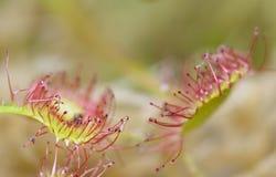 Rotundifolia van Drosera Royalty-vrije Stock Afbeeldingen