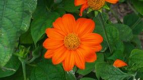 Rotundifolia van Tithonia van de toorts Mexicaanse zonnebloem, het bloeien Royalty-vrije Stock Foto's