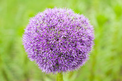 Rotundum лукабатуна цветка Стоковое Изображение