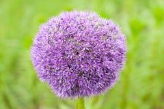 Rotundum dell'allium del fiore Immagine Stock