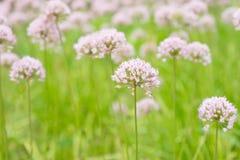 Rotundum dell'allium del fiore Fotografia Stock Libera da Diritti