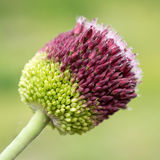 Rotundum dell'allium del fiore Immagine Stock