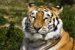 Rotura del tigre Imagen de archivo