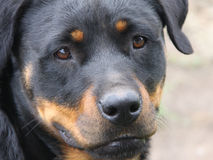 Rotweiler Stock Photography