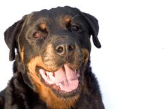 Rotweiller Royalty Free Stock Photography