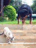 Rotweiller gegen Katze Lizenzfreies Stockbild