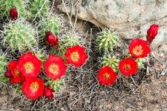 Rotwein-Cup-Kaktus lizenzfreie stockfotografie