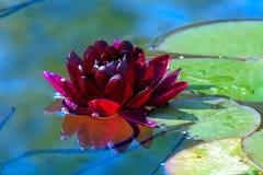 Rotwein Lotus, Wasserpflanze mit Reflexion in einem Teich stockfotos