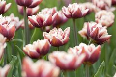 Rotwein-rosa helle Tulpen auf dem Sommergebiet lizenzfreies stockbild