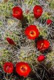 Rotwein-Schalen-Kaktus-Blüte stockfotografie