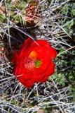 Rotwein-Schalen-Kaktus-Frühlings-Blüte lizenzfreie stockfotografie