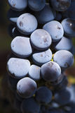 Rotwein-Trauben stockfoto