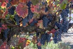 Rotwein-Trauben auf Rebe Lizenzfreie Stockfotos